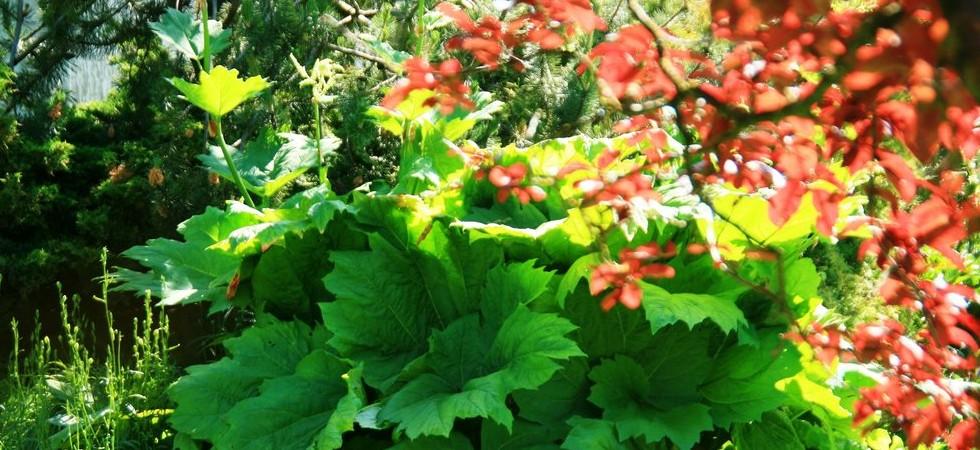 exuberance-de-la-rhubarbe